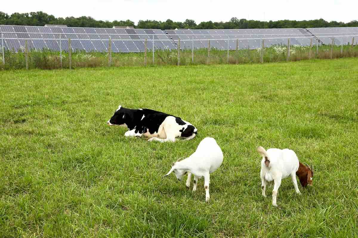 Cow and goats near solar farm